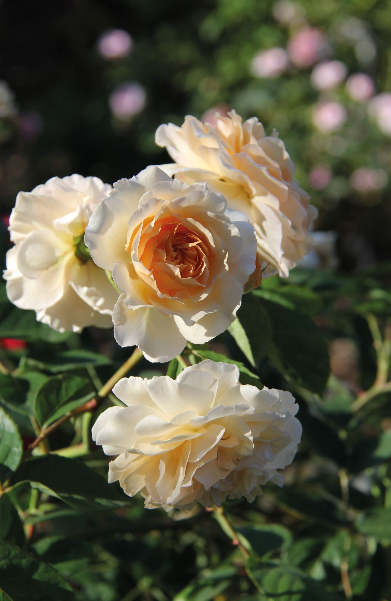 Rose Buff Beauty Bed Of Roses Rosas Flores