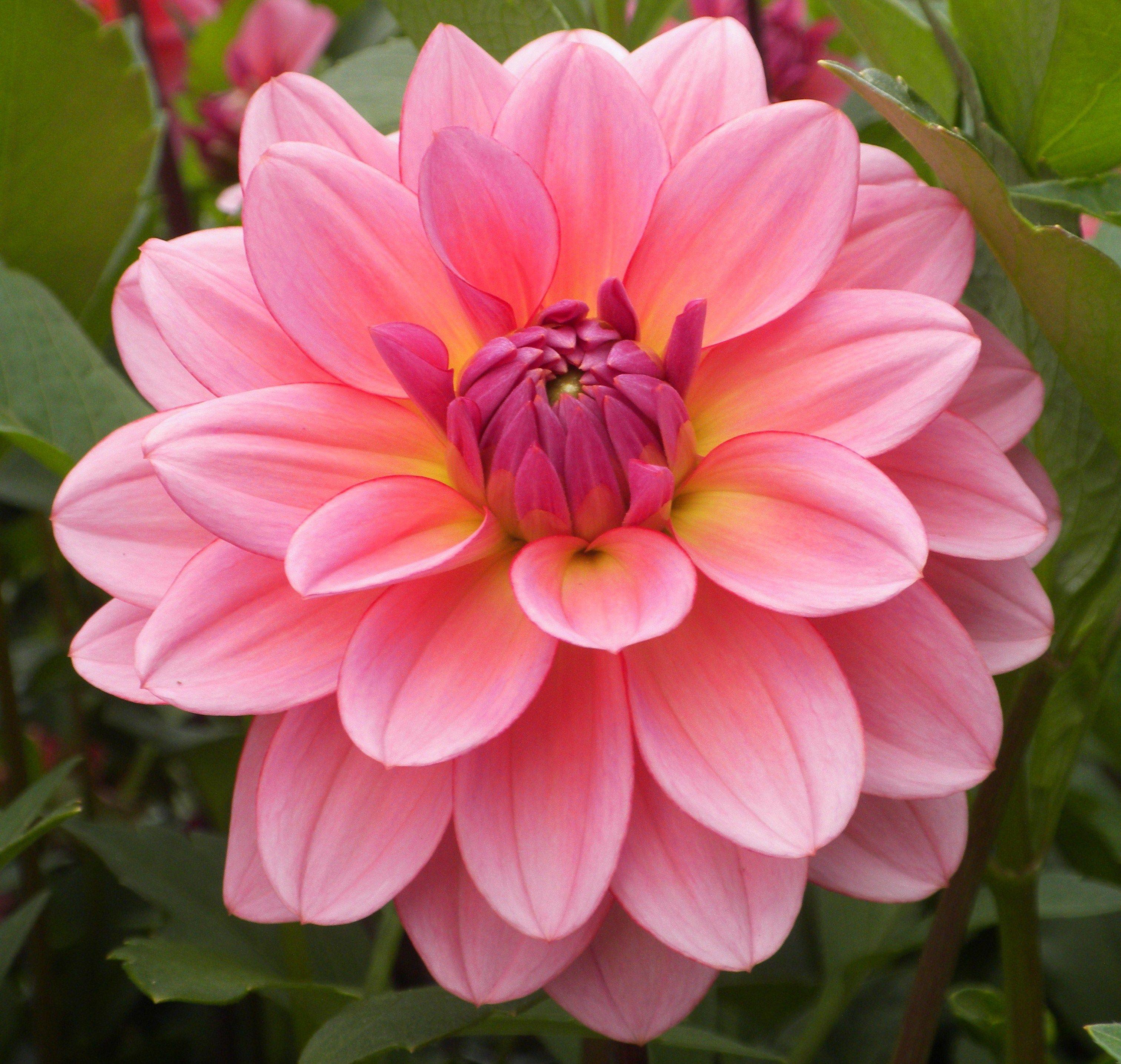 Janice 4 Inch Light Pink Waterlily Dahlia Oh Dahlias My Dahlias
