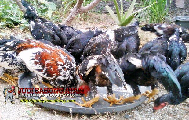 Rahasia Jenis Resep Jamu Ayam Bangkok Ayam Bangkok Jenis