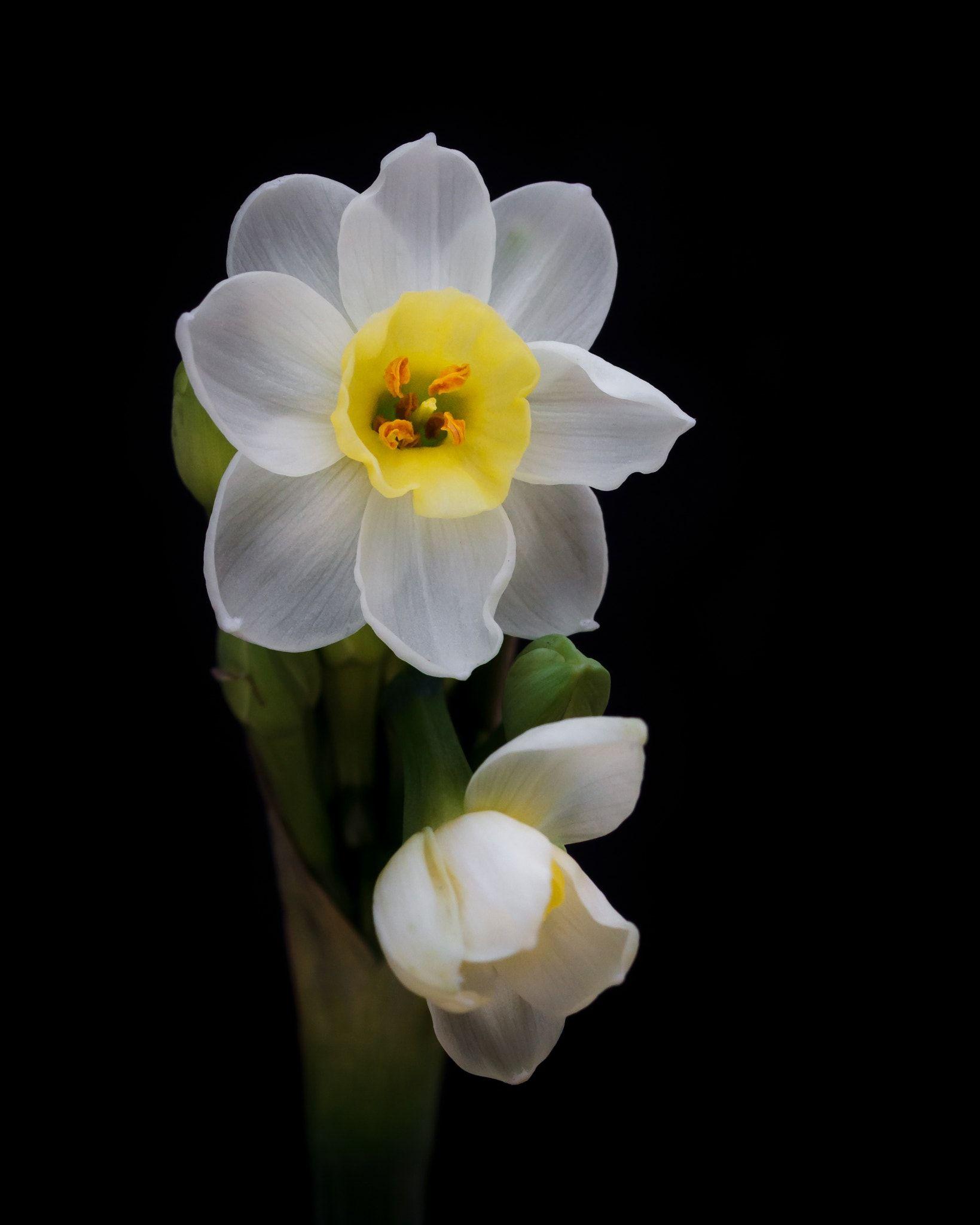 Daffodils Daffodil Flower Daffodils Flowers