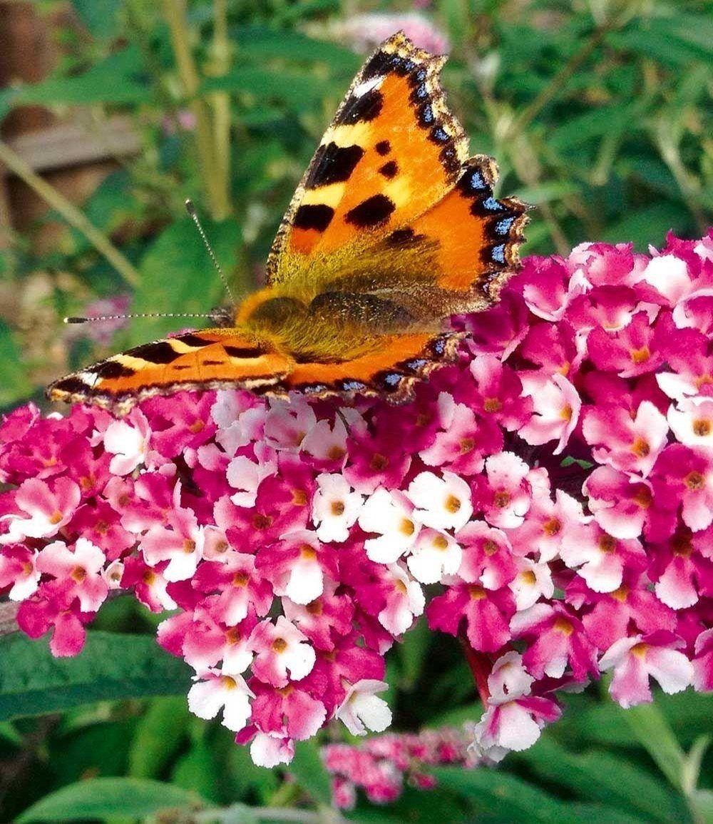 """Buddleia """"Berries and Cream®"""",1 Pflanze günstig online ..."""