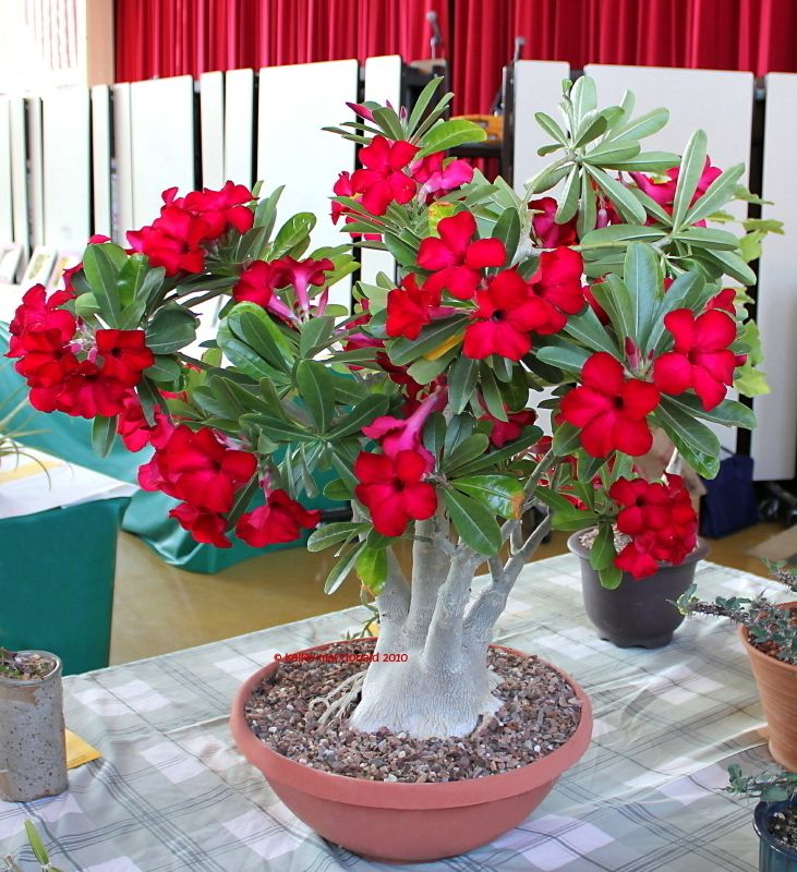 Full size picture of Desert Rose (<i>Adenium obesum</i>) | Kapaa