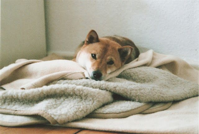 This looks like a little Shiba
