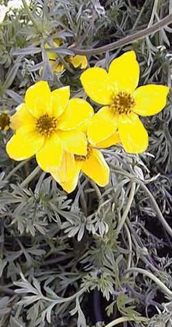 bidens ferulifolia - Google Search