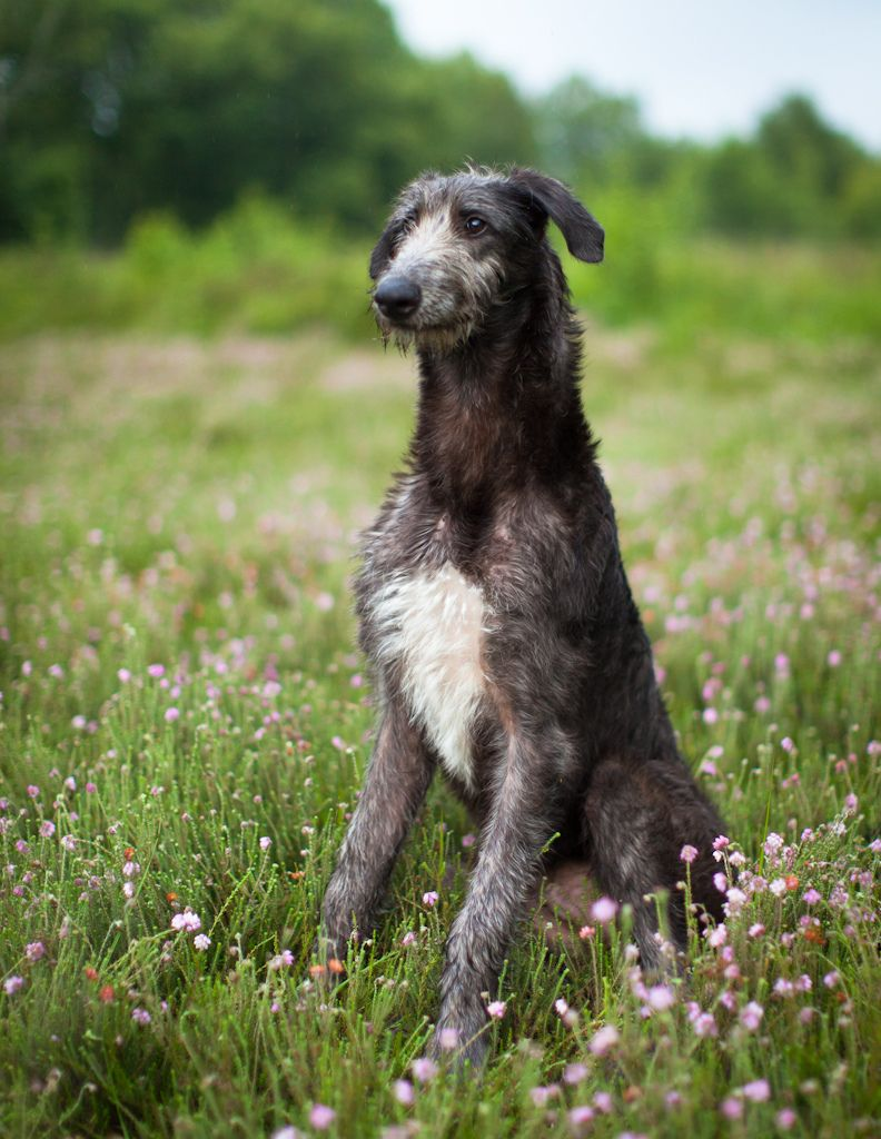 sottish deerhound phot | Scottish Deerhound On The Field Photo 792×1024 #194307 HD Wallpaper ...