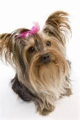 Yorkie Hair Tips   Dog Breeds