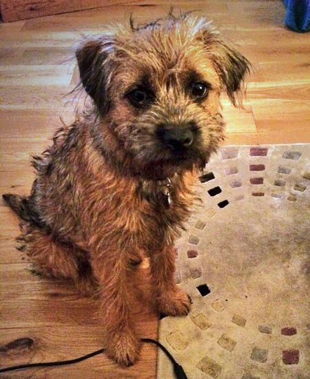 Captain Hastings The Border Terrier Border Terrier Terrier