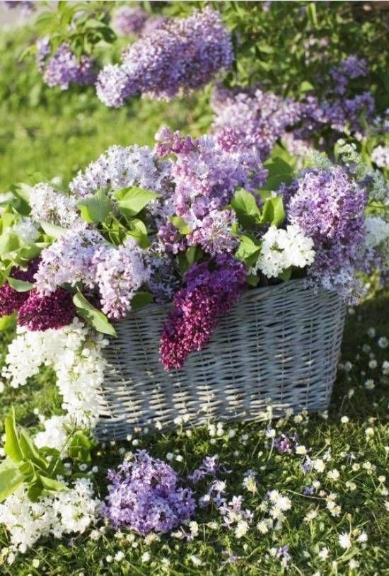 garten blüher-flieder farben-arten arrangement-in-korb | flieder, Garten und Bauten
