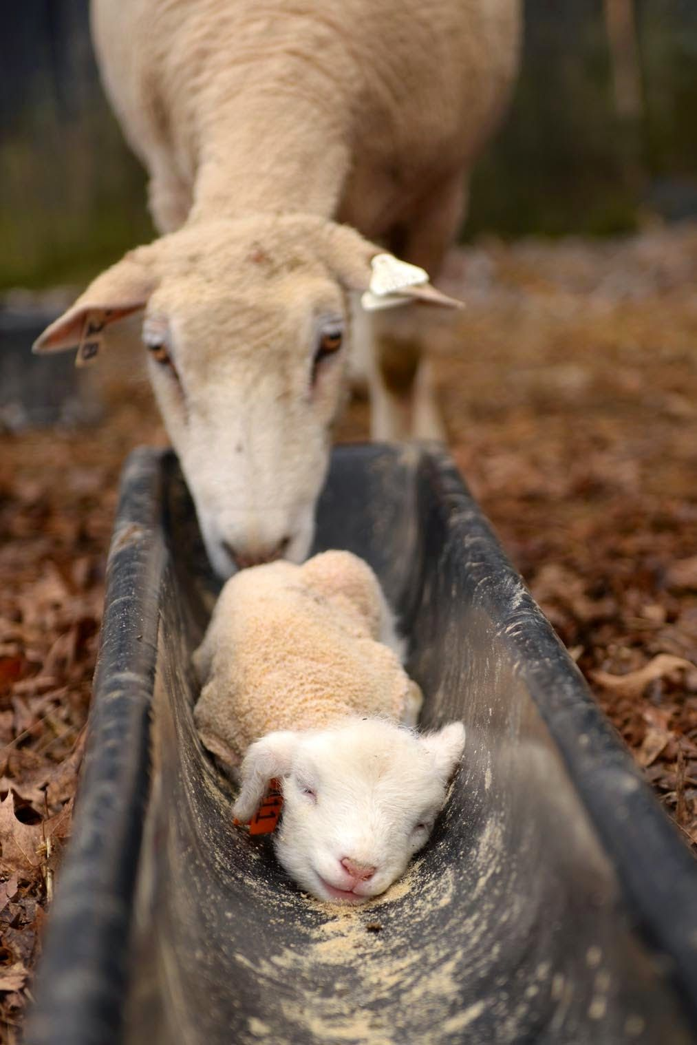 """Little Lamb: """"Mom! Exactly what am I doing in here?!""""   Farm Animals ... for Happy Baby Lamb  565ane"""