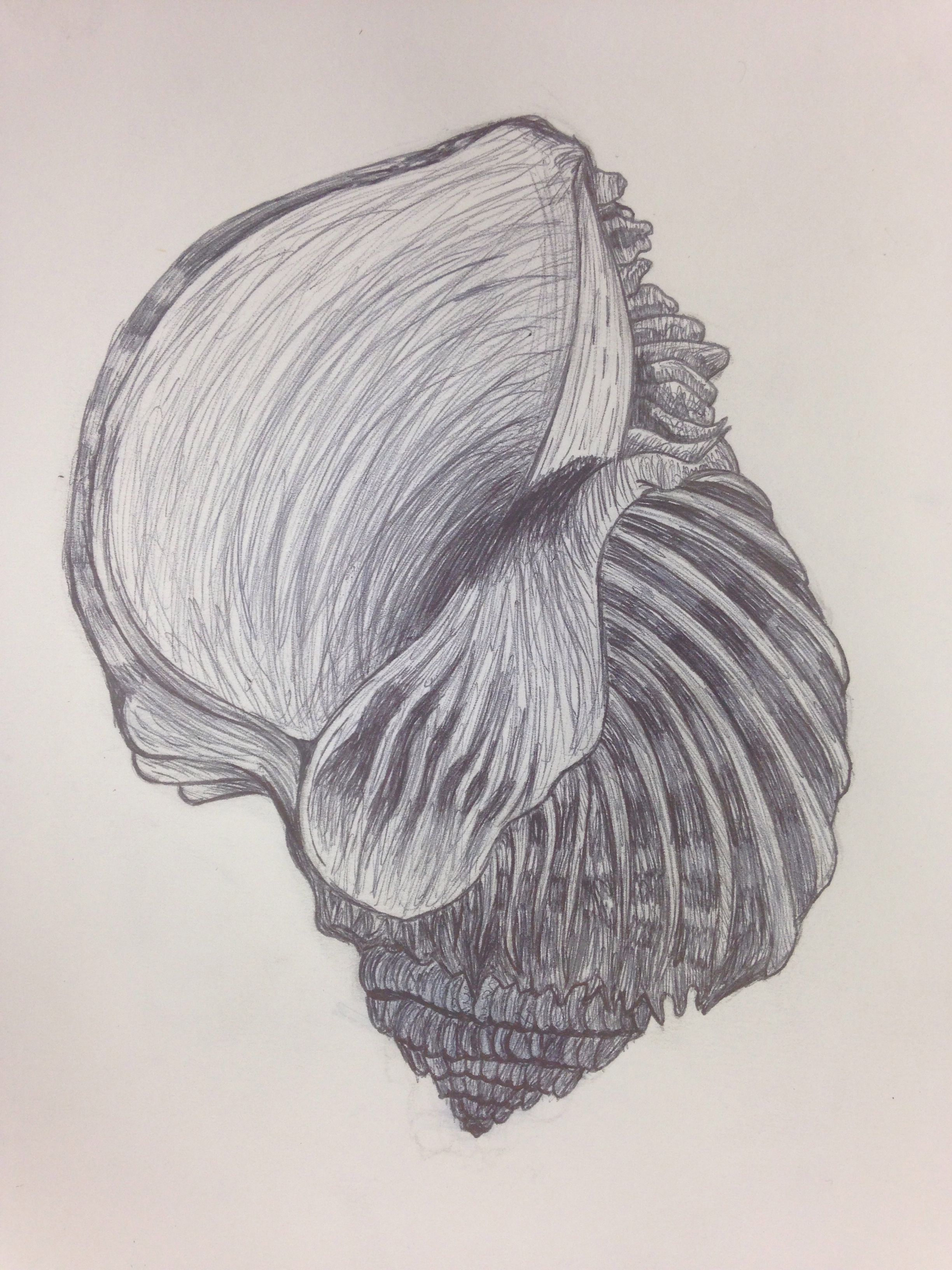 Shell Biro Drawing Note The Curved Build Up Of Tone To