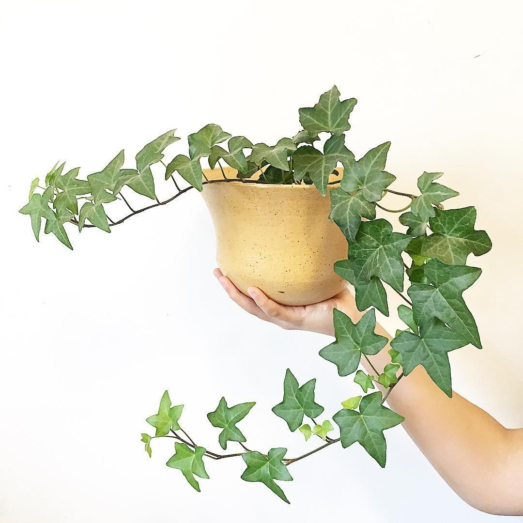 English Ivy Hedera Helix Trailing Plants Vining Plants Air
