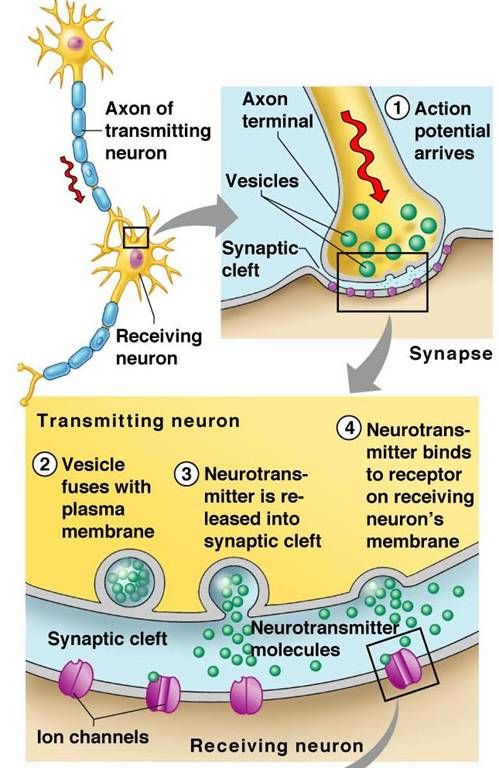 neurotransmission process step by step - Google Search   school ...