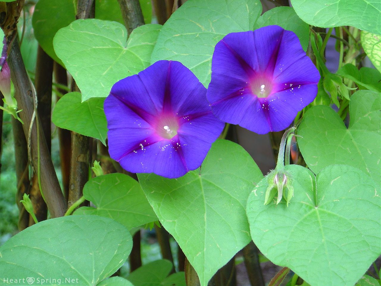 Morning Glory Used For Binding And Or Banishing Spells And Rituals Can Be Used To Bring People Or Objects Towards Y Magical Herbs Morning Glory Garden Vines