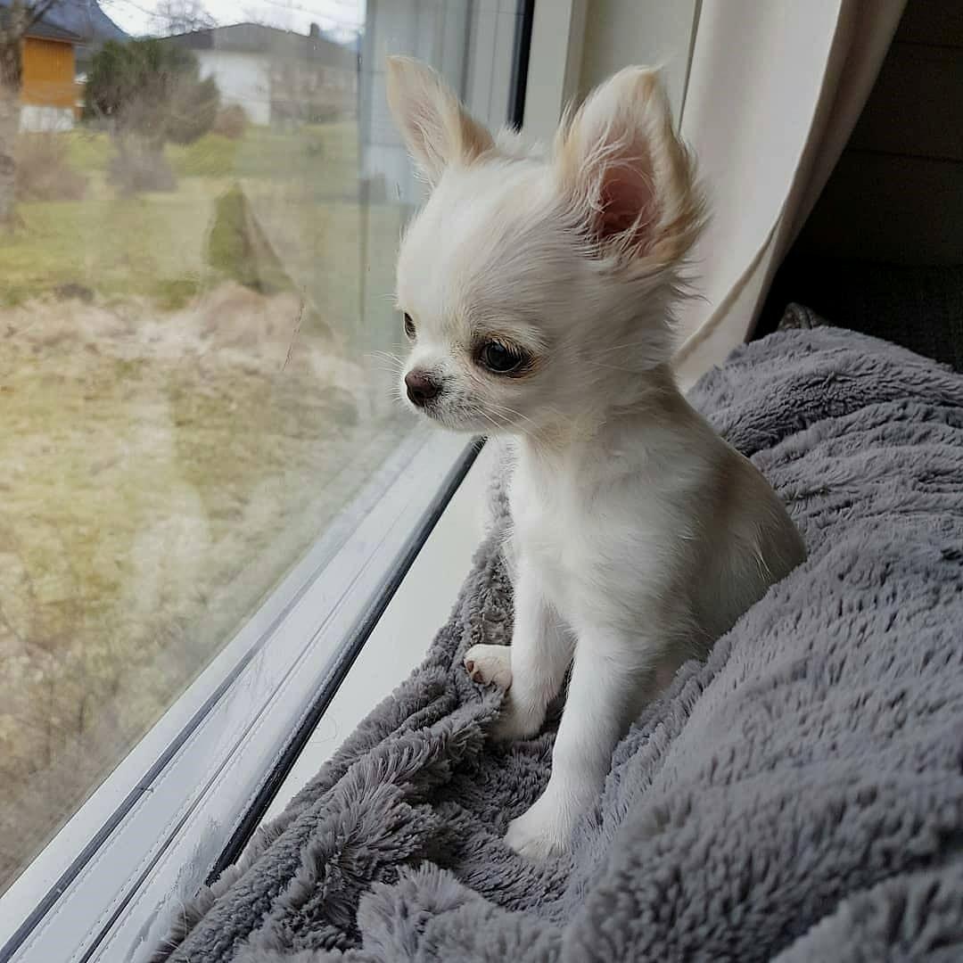 6 Brilliant Potty Training Chihuahua Consistency Is Key Ideas
