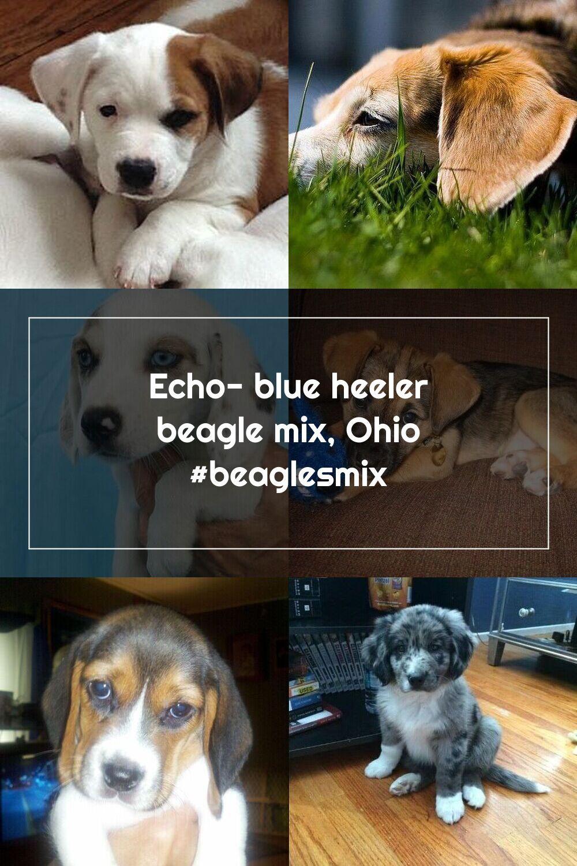 Echo blue heeler beagle mix ohio beaglesmix in 2020