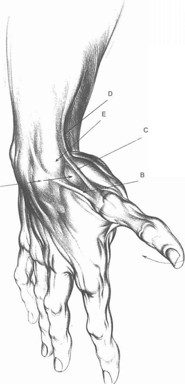 Anatomy Arm Drawings