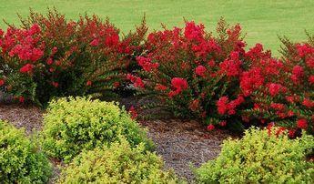 Dwarf Crape Myrtle Zone 6 Cherry Dazzle great companion planting
