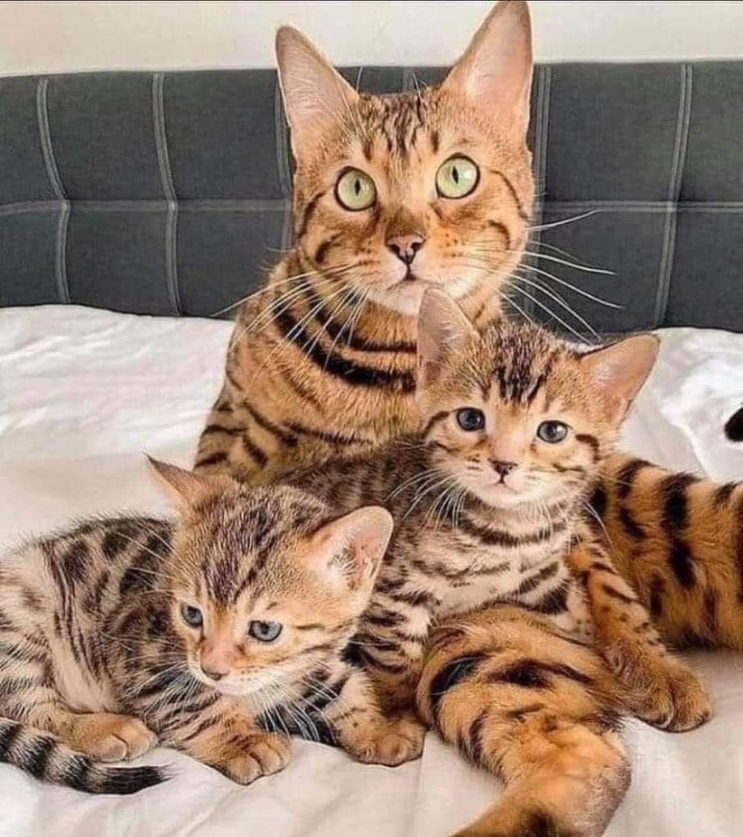 Bengal Cat The Bengal Cat Is A Domesticated Cat Breed Created From Hybrids Of Domestic Cats Especially The Spotte In 2020 Asian Leopard Cat Cute Cats And Kittens Cats