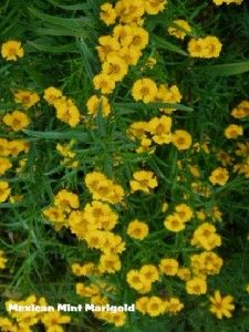 mexican-mint-marigold - another one to try