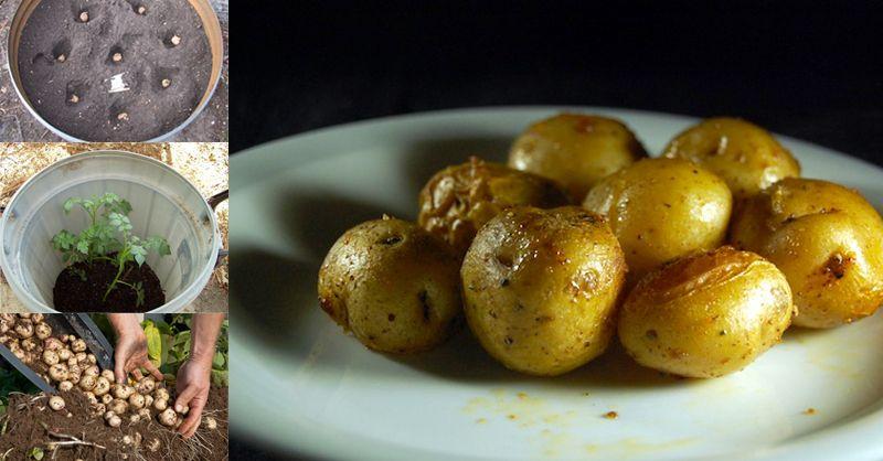 How To Grow Potatoes In A Barrel | Potato barrel