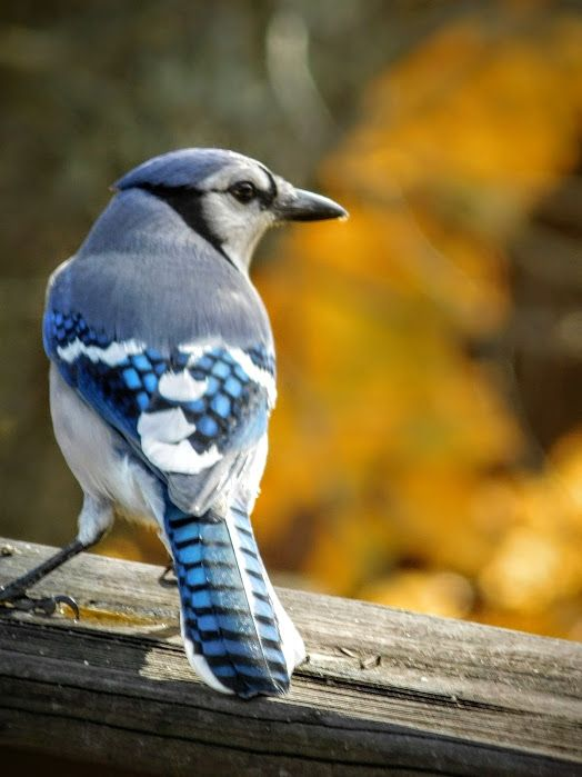 Bold Back View / Blue jay in autumn. - s.d.'s