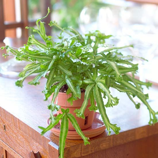 Our Favorite Ferns For Creating A Tropical Paradise Indoors Plants Ferns Houseplants
