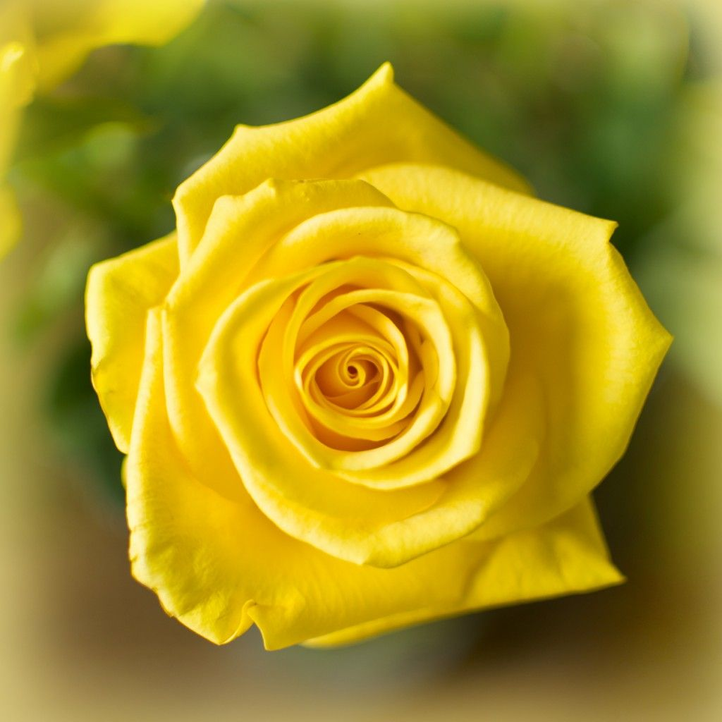 Why You Should Never Give A Yellow Rose For Valentines Day What Do