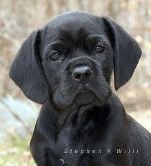 Cocker Spaniel Black Lab Mix I Want One Cocker Spaniel Black Lab Mix Pet Birds