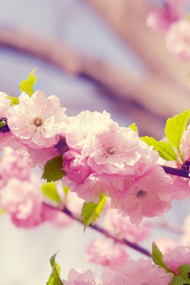 Cherry blossom app
