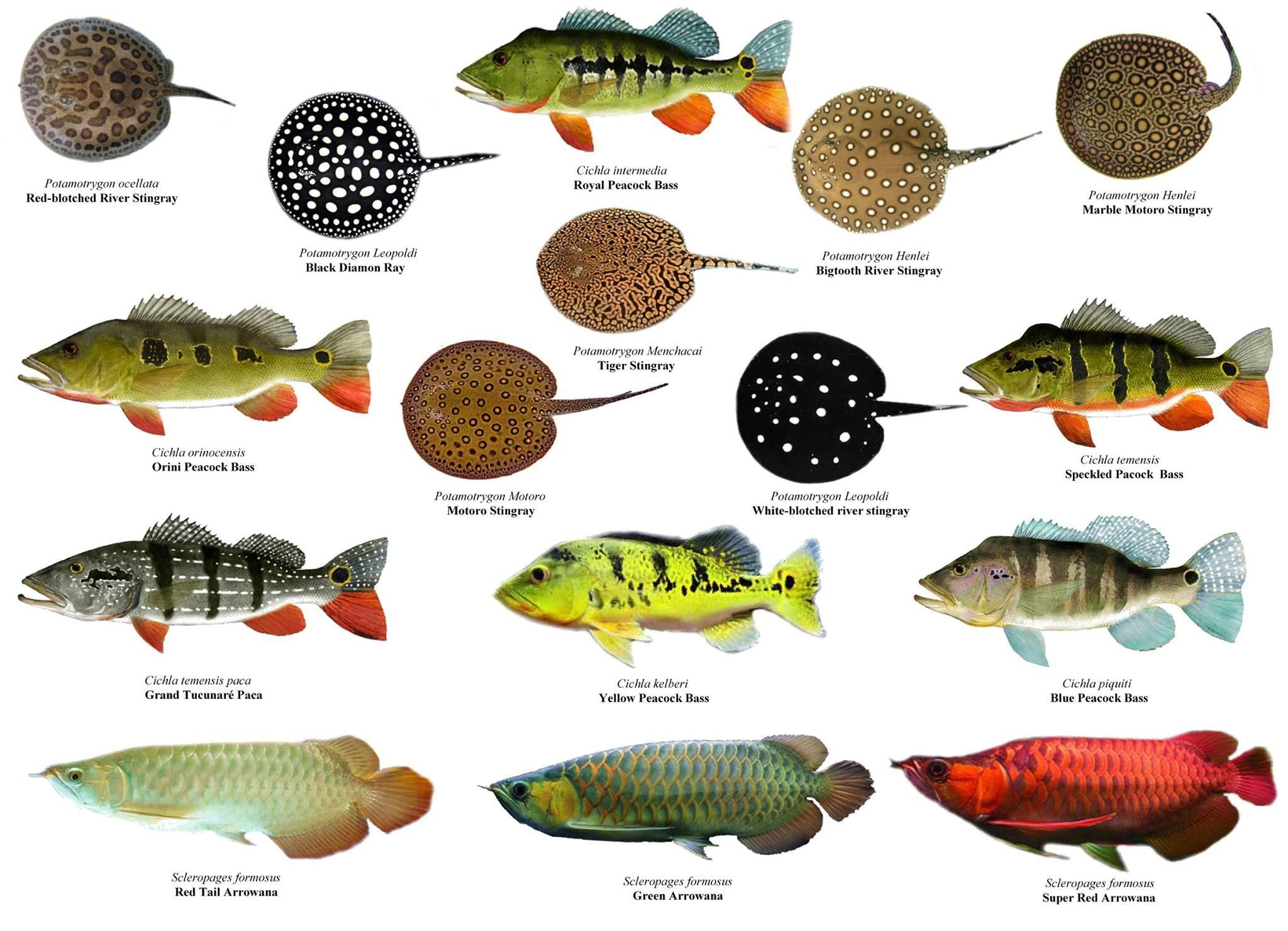 Породы рыбок в картинках