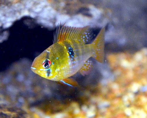 Blue ram cichlid cichlid fish fishtank pet tropical