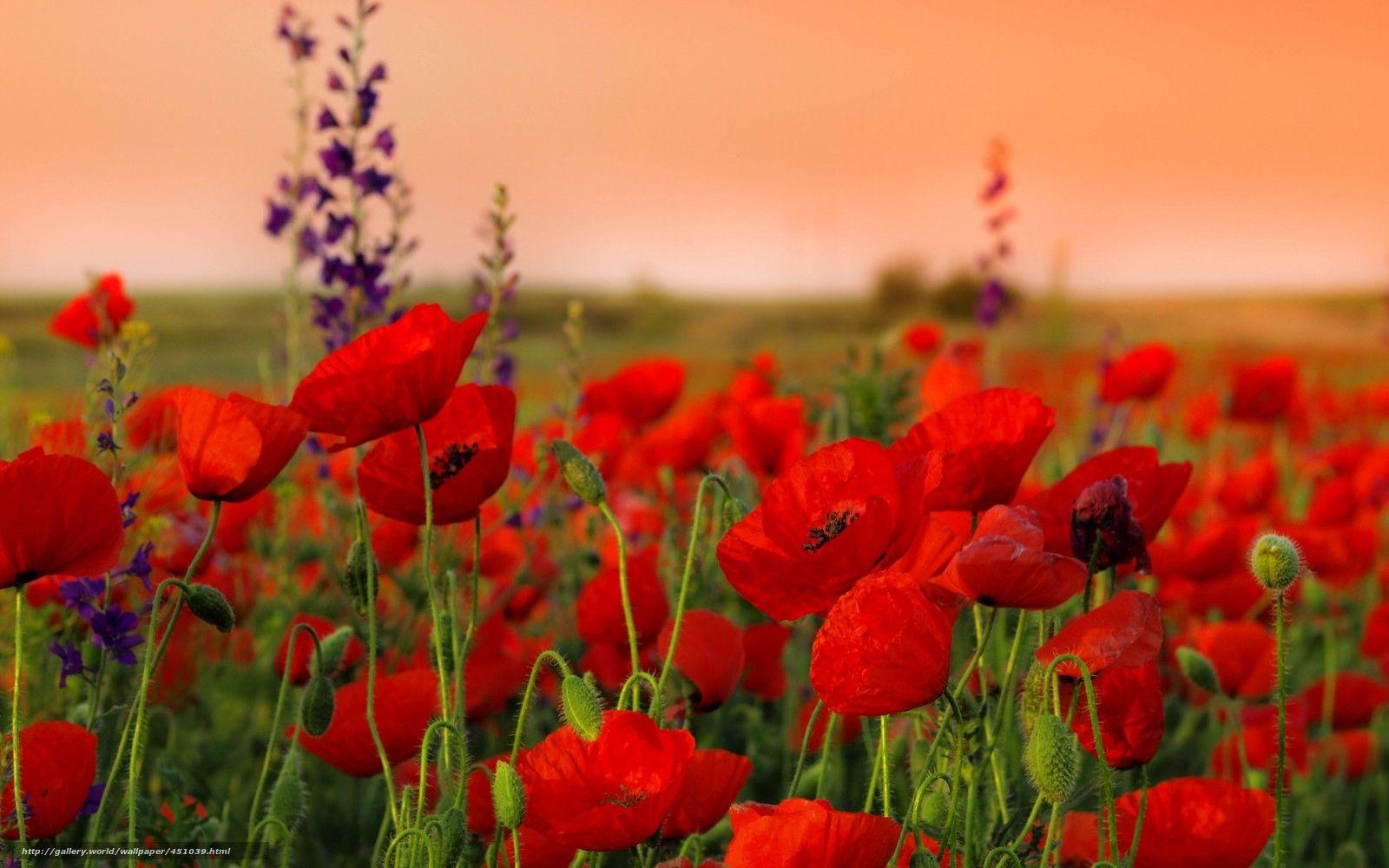 Fonds Decran Paysage Nature Fond Decran Hd Wallpaper Hq Photo Coquelicot Fleur De Pavot Papier Peint A Fleurs