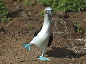Yoga--Tree Pose---Blue Footed Booby