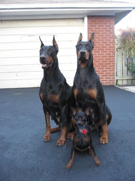 Doberman Doberman Pinscher Dog Doberman Pinscher Doberman Dogs