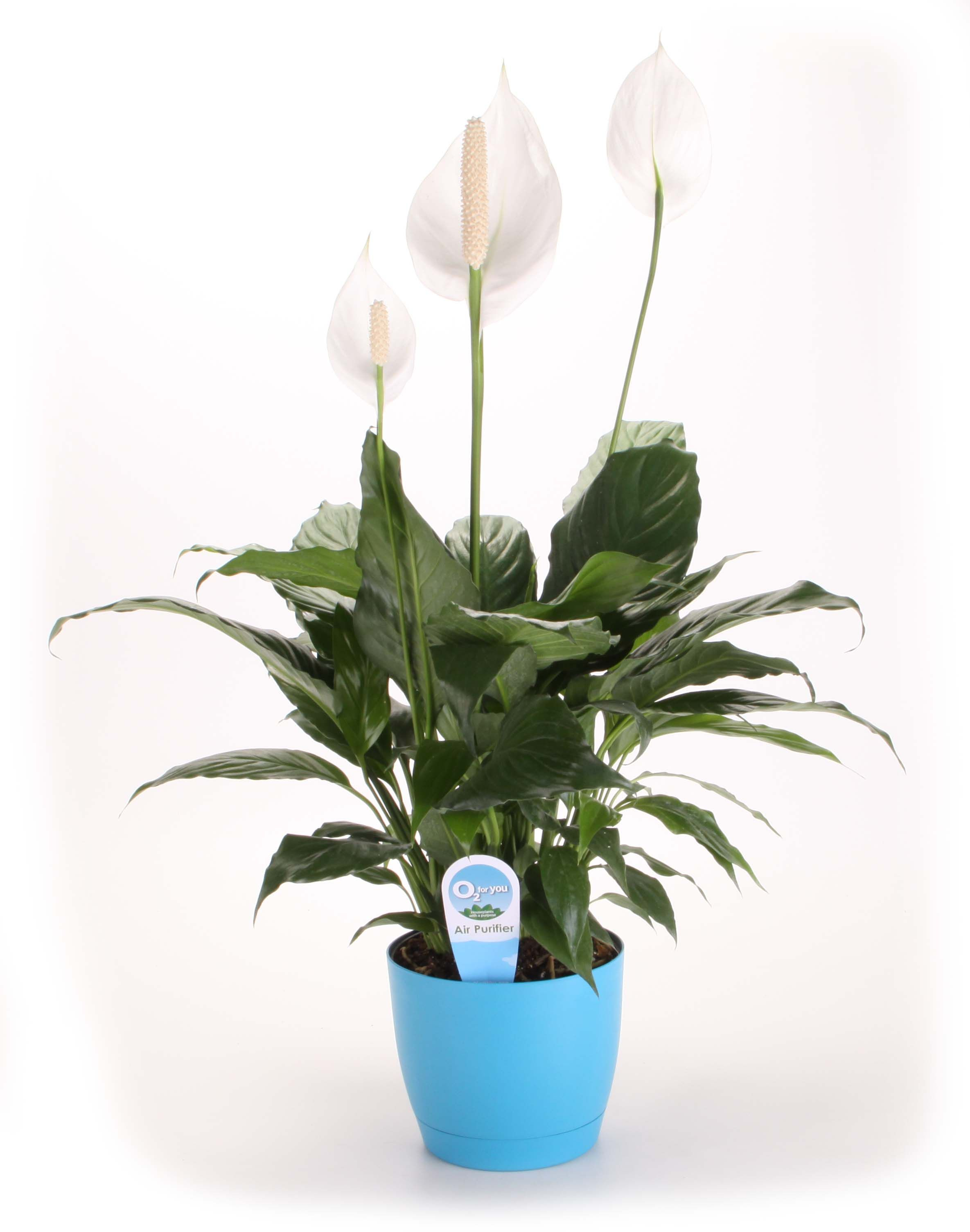 Did you know that keeping certain plants indoors can actually did you know that keeping certain plants indoors can actually improve the air quality of your home or office the peace lily or spathiphyllum izmirmasajfo