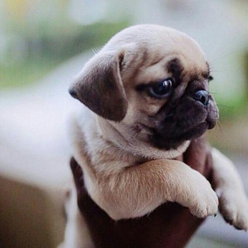 Emergency Pugs (@EmergencyPugs)