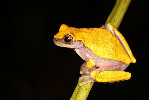 Dendropsophus cf. triangulum