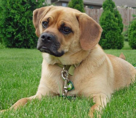 This Is Our Puggle Moses Puggle Puggle Dogs