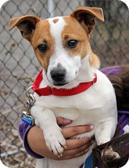 Larchmont Ny Jack Russell Terrier Mix Meet Jerry A Dog For Adoption Jack Russell Jack Russell Terrier Terrier Mix