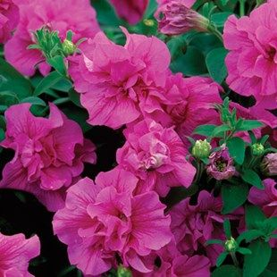 Petunia Tumbelina Scented Candyfloss Petunia Tumbelina Has Masses Of Scented Double Flowers That Will Cascade Beautifully Over Petunias Plants Plant Basket