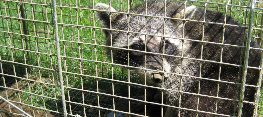 f you are currently having problems with raccoons