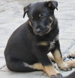 Adopt Rambo On German Shepherd Dogs Rottweiler Mix Dogs