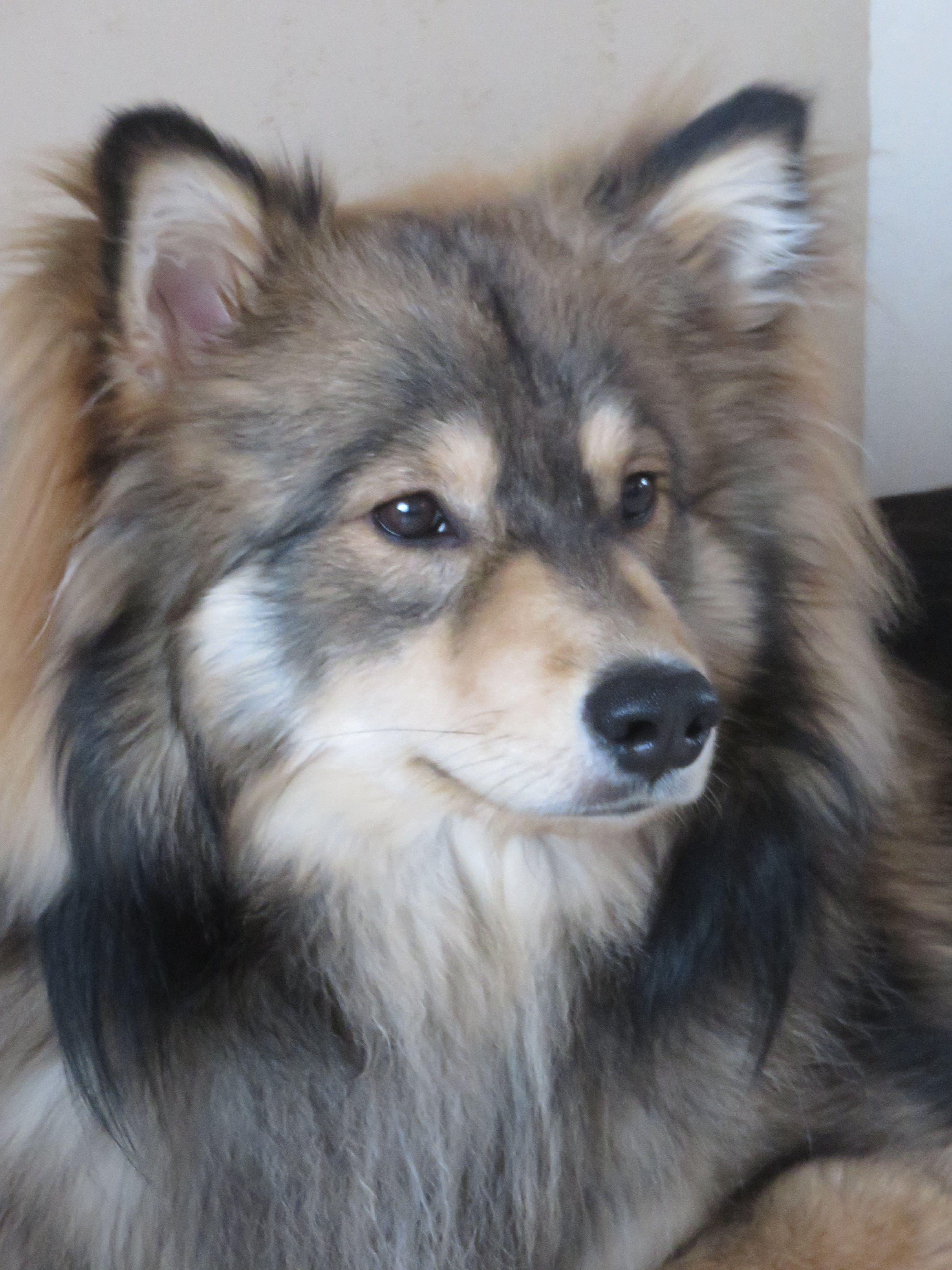 Pin By Tintti10 On Mooie Finse Lapjes Domestic Dog Dog Lovers Finnish Lapphund