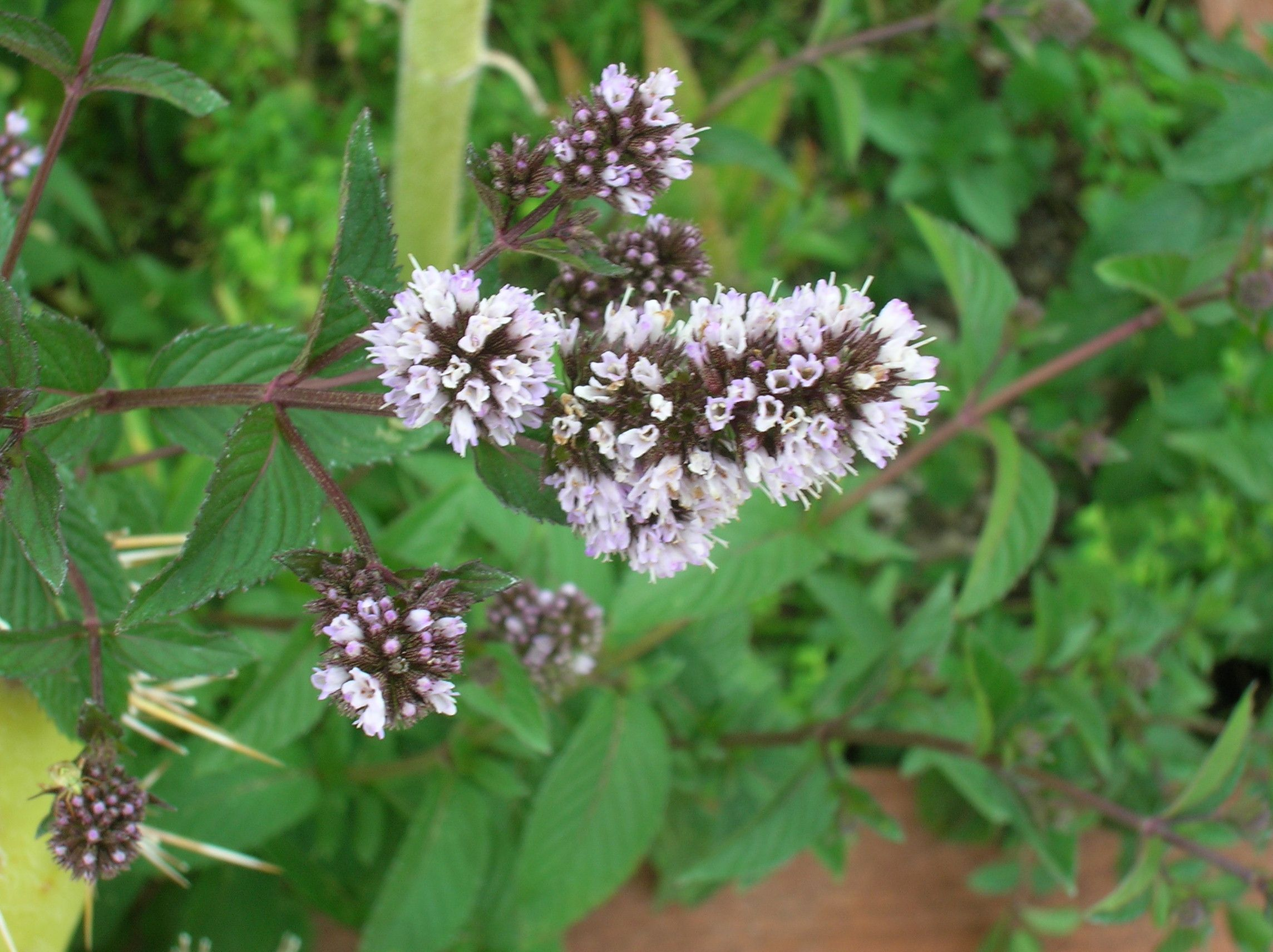 Mentha piperita cv. 'Chocolate Mint' . . .   Plants ...