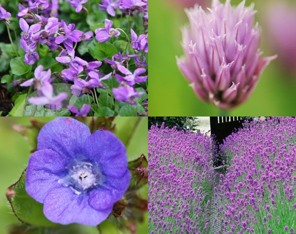 A delicious combination of edible flowers for your kitchen garden - Anchusa azurea, Viola odorata, Allium schoenoprasum and Lavandula angustifolia 'Hidcote'