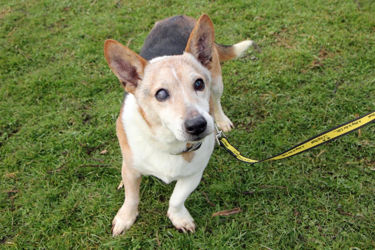 Adopt a dog buddy was bertie jack russell terrier
