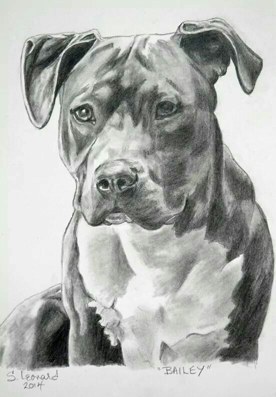 Sketch of a pitbull pitbulls in 2019 portraits de - Dessin de pitbull ...