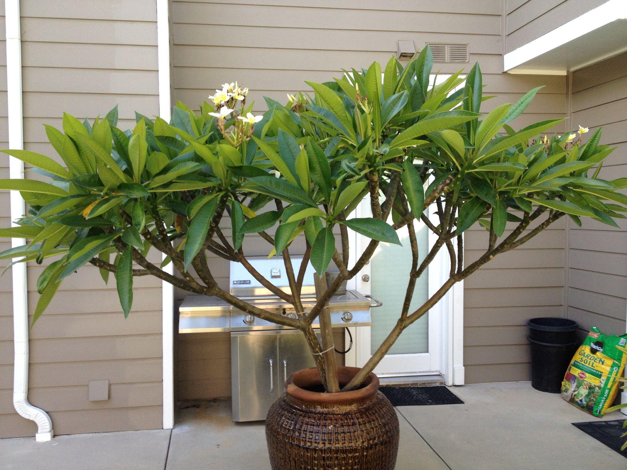 Piante Da Appartamento La Plumeria.My Yellow Plumeria Tree