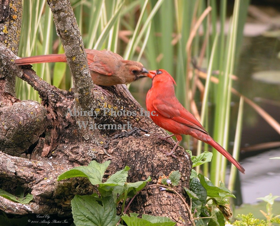 Baby Cardinal Being Fed By Male | Birds, Cardinal birds
