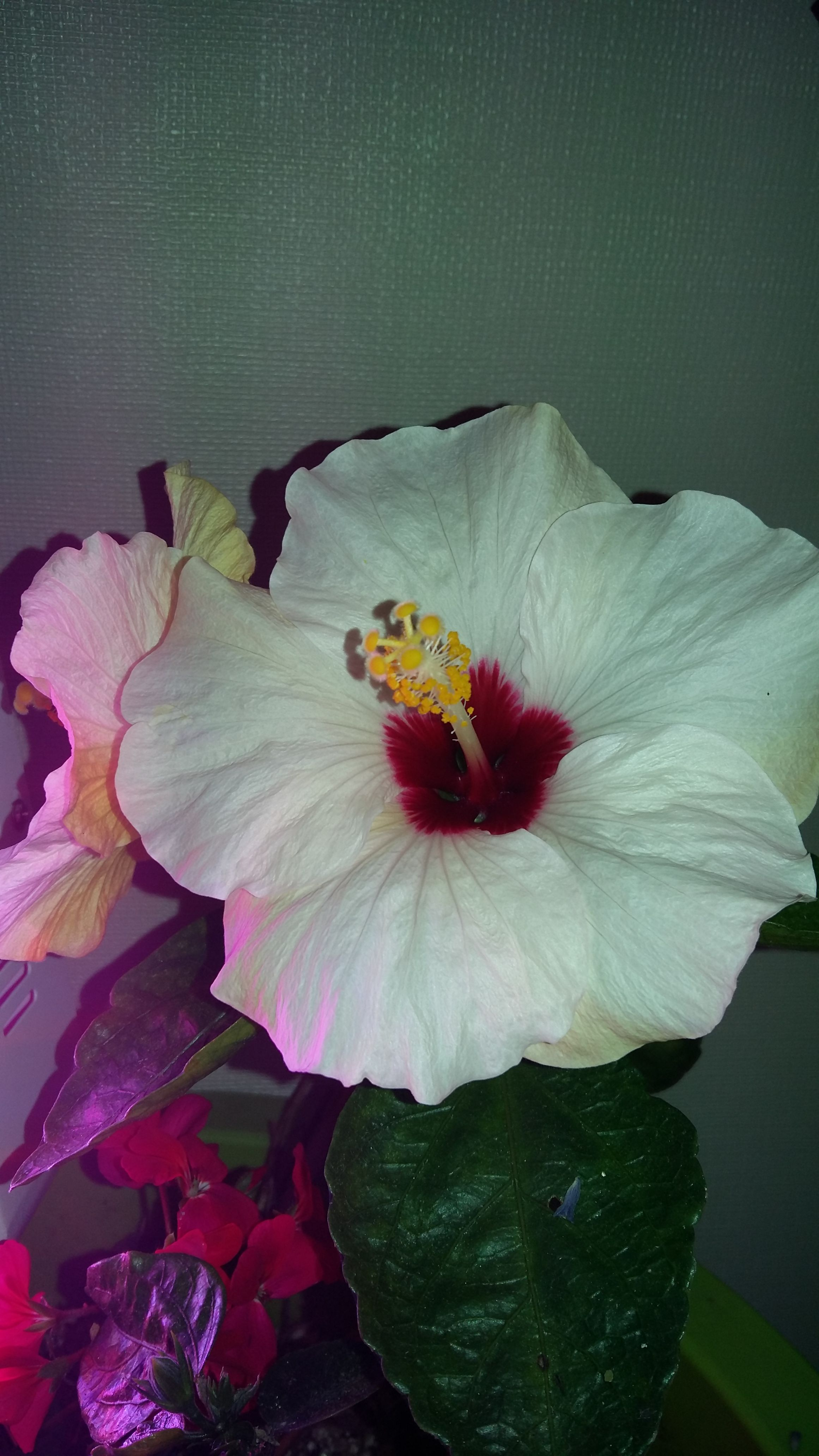 Hibiscus blooming before christmas in the north indoor